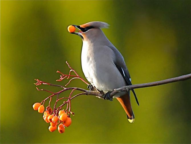 Waxwing in the grounds